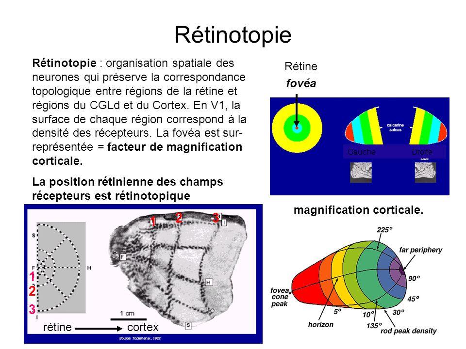 7 Rétinotopie Rétinotopie : organisation spatiale des neurones qui préserve la correspondance topologique entre régions de la rétine et régions du CGL