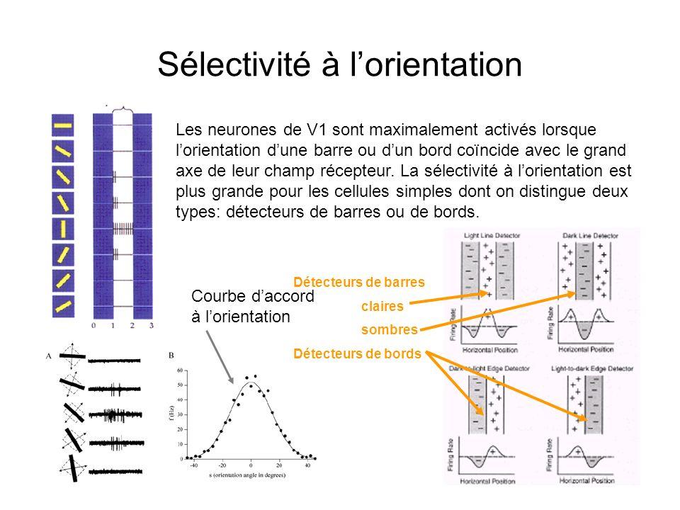 9 Sélectivité à lorientation Les neurones de V1 sont maximalement activés lorsque lorientation dune barre ou dun bord coïncide avec le grand axe de le