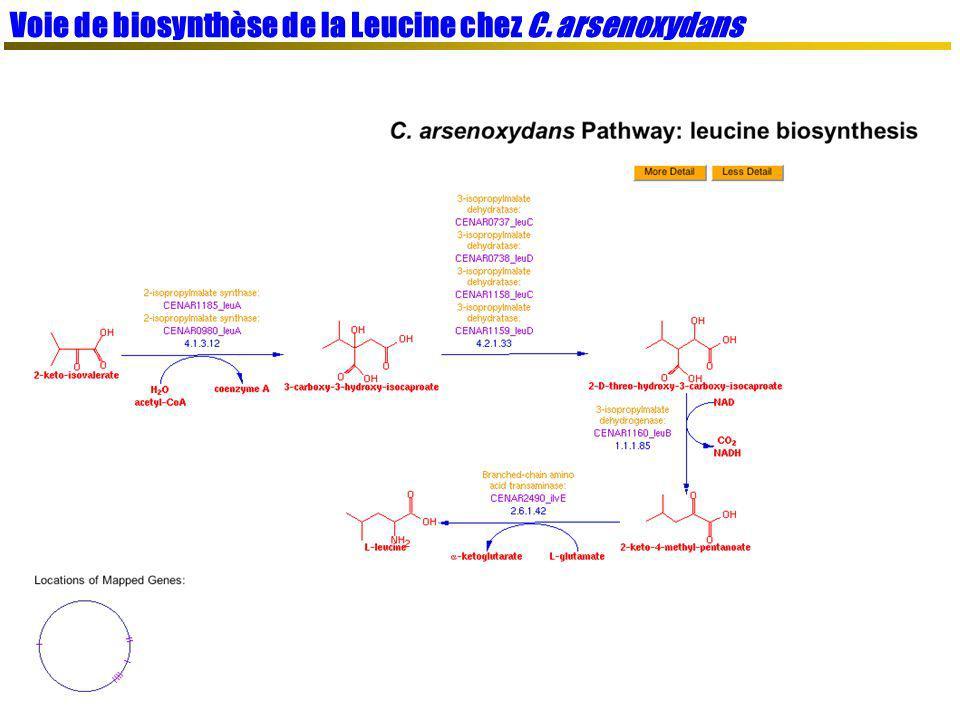 Voie de biosynthèse de la Leucine chez C. arsenoxydans