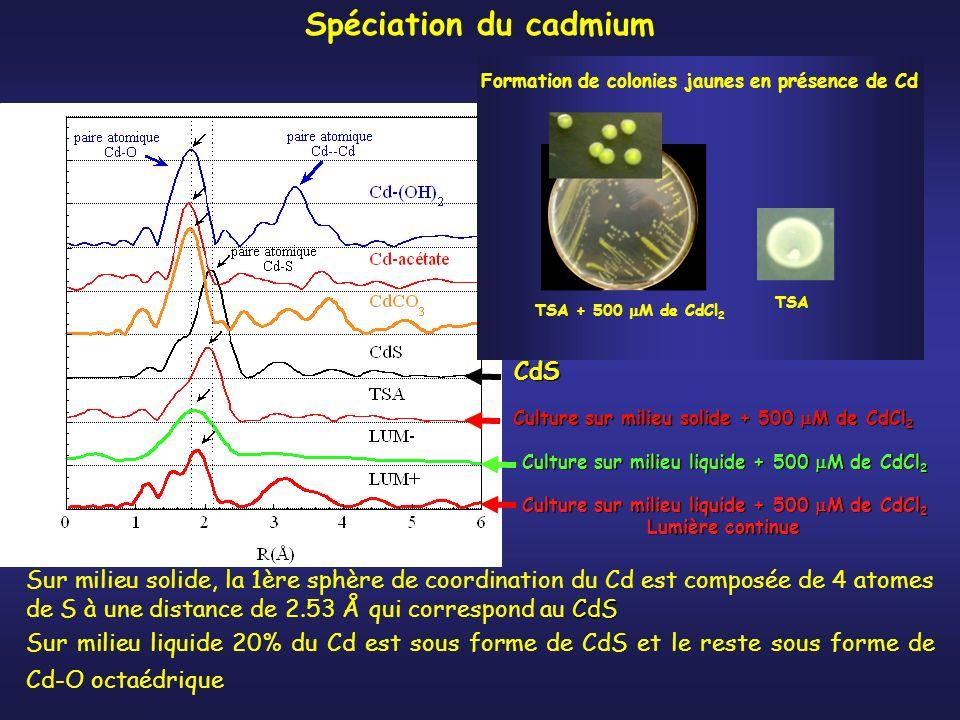 Culture sur milieu solide + 500 M de CdCl 2 CdS Spéciation du cadmium CdS Sur milieu solide, la 1ère sphère de coordination du Cd est composée de 4 atomes de S à une distance de 2.53 Å qui correspond au CdS Sur milieu liquide 20% du Cd est sous forme de CdS et le reste sous forme de Cd-O octaédrique Formation de colonies jaunes en présence de Cd TSA + 500 M de CdCl 2 TSA Culture sur milieu liquide + 500 M de CdCl 2 Lumière continue