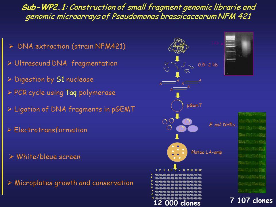 Ligation of DNA fragments in pGEMT Electrotransformation White/bleue screen pGemT E.