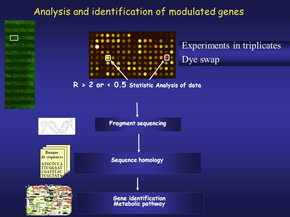 Analysis and identification of modulated genes R > 2 or < 0.5 Statistic Analysis of data Fragment sequencing Sequence homology Banque de séquences ATGCTCCA TTCGGAAT CGATTTAC TCGCTATA Gene identification Metabolic pathway Experiments in triplicates Dye swap