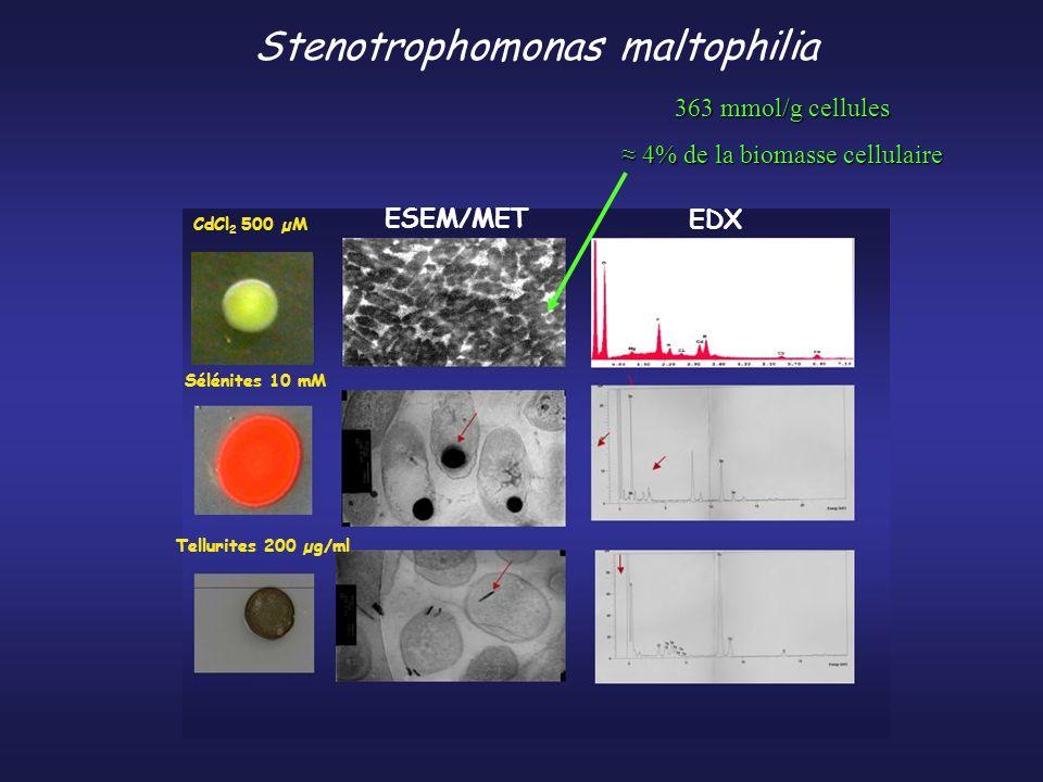 Stenotrophomonas maltophilia Sélénites 10 mM Tellurites 200 µg/ml CdCl 2 500 µM EDX ESEM/MET 363 mmol/g cellules 4% de la biomasse cellulaire 4% de la biomasse cellulaire