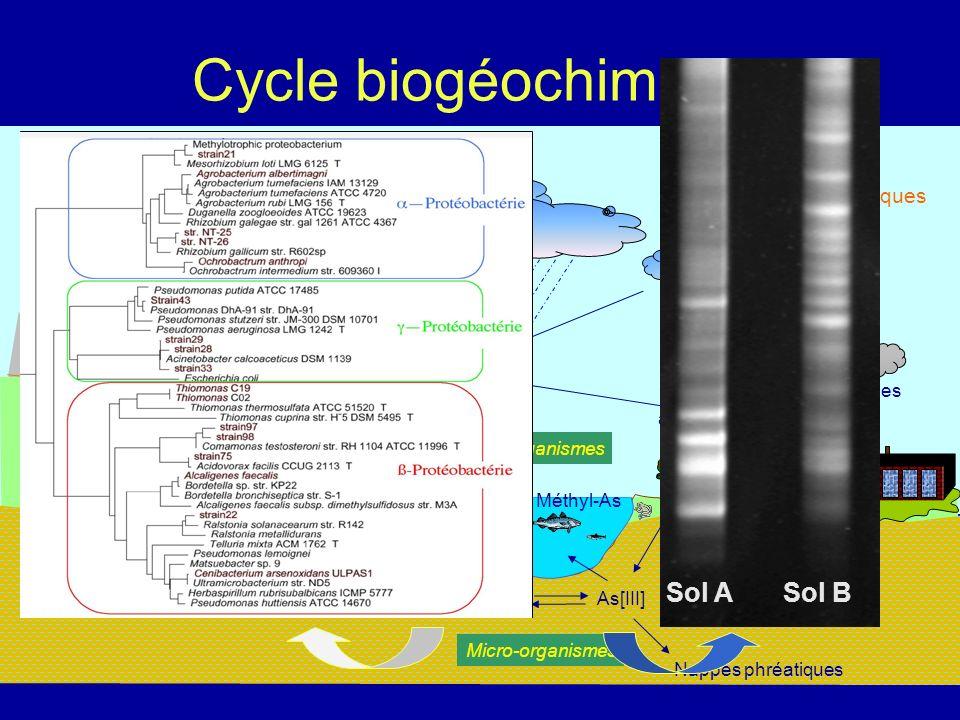 Souche modèle ULPAs1 Cenibacterium arsenoxydans Oxyde As[III] en As[V] (100 mg.L -1 en 2 heures) Résiste à 500 mg.L -1 en As[III] Multirésistante : Ni, Sb,Cd, Cr[III], Pb, Mn, Se, As[V] Mécanisme doxydation induit en présence d As[III] (Weeger et al, 1999)