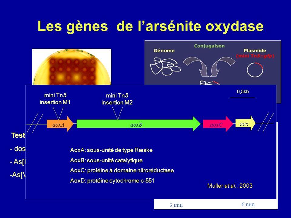 Arsénite oxydase 2H 3 AsO 3 +O 2 HAsO 4 2 +H 2 AsO 4 +3H + AoxD Mo Cu B aa 3 3Fe4S 2Fe2S 2e Cu A 1e 4e 1e AoxB AoxA Périplasme Cytoplasme 4H + Caractérisation des gènes de larsénite oxydase