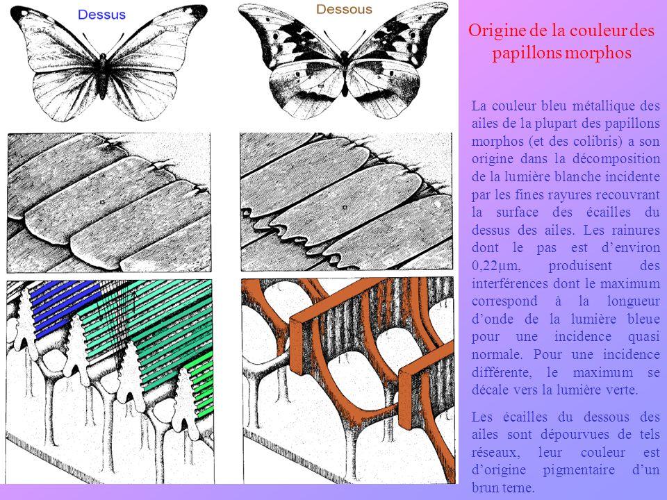 La couleur bleu métallique des ailes de la plupart des papillons morphos (et des colibris) a son origine dans la décomposition de la lumière blanche i