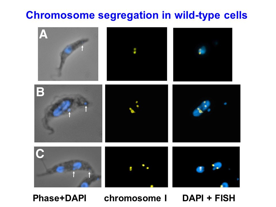 Chromosome segregation in wild-type cells Phase+DAPIchromosome IDAPI + FISH