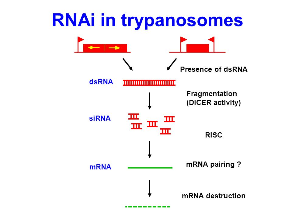 dsRNA mRNA RNAi in trypanosomes mRNA destruction siRNA Fragmentation (DICER activity) RISC mRNA pairing ? Presence of dsRNA
