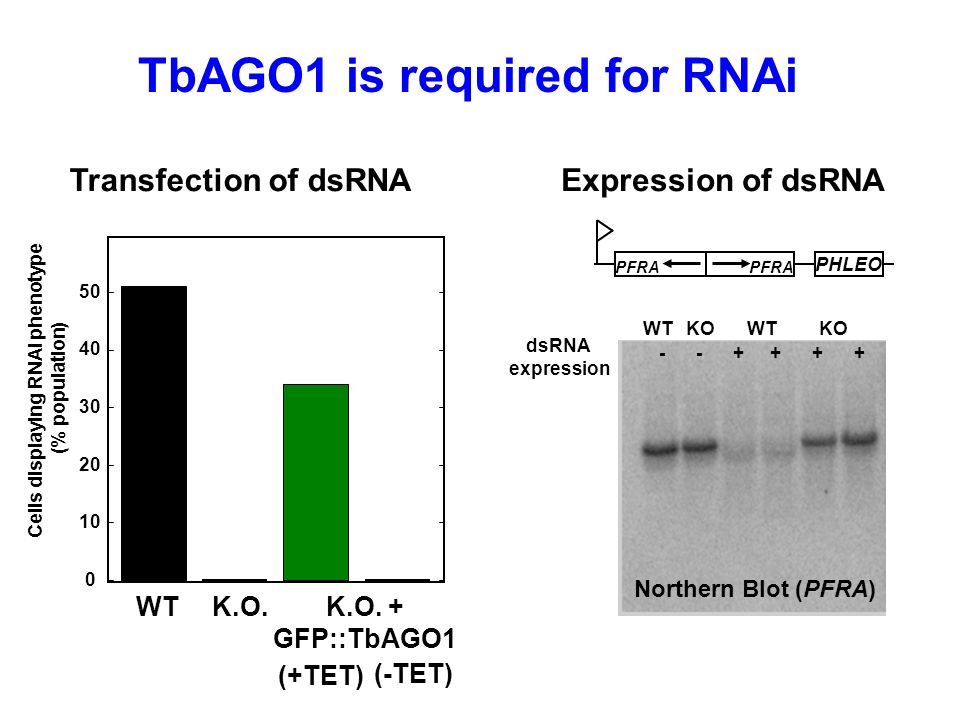 WTK.O. 0 10 20 30 40 50 Cells displaying RNAi phenotype (% population) K.O. + GFP::TbAGO1 (+TET) (-TET) TbAGO1 is required for RNAi Transfection of ds