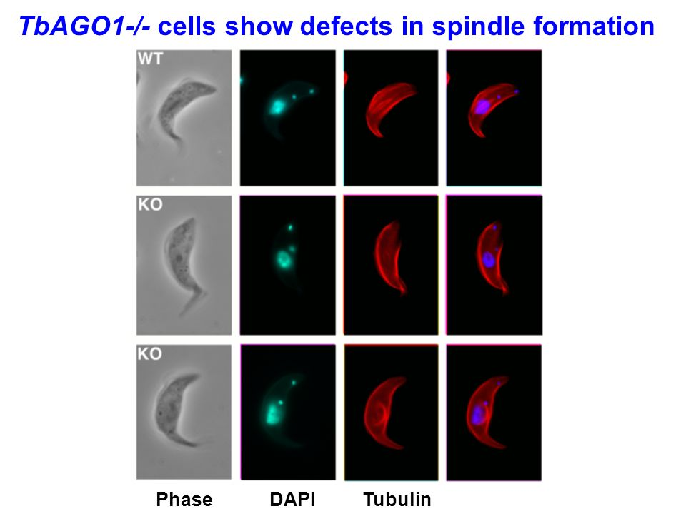 Chromosome segregation in wild-type trypanosomes Tubulin (green) +DAPI (blue) + chromosome VIII (red)