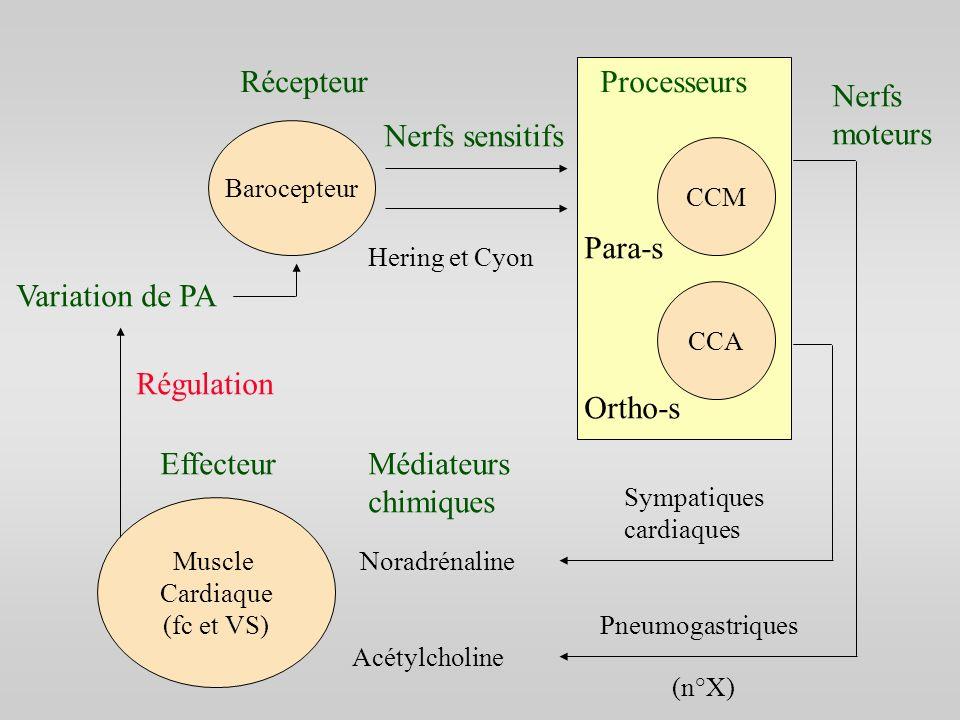 Muscle Cardiaque (fc et VS) Barocepteur CCM CCA RécepteurProcesseurs Nerfs sensitifs Hering et Cyon Nerfs moteurs Pneumogastriques Sympatiques cardiaq