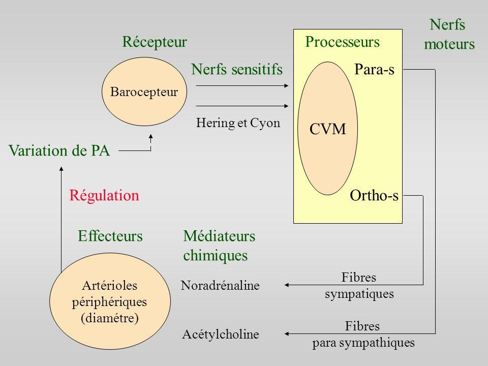 Artérioles périphériques (diamétre) Barocepteur CVM RécepteurProcesseurs Nerfs sensitifs Hering et Cyon Nerfs moteurs Fibres para sympathiques Fibres