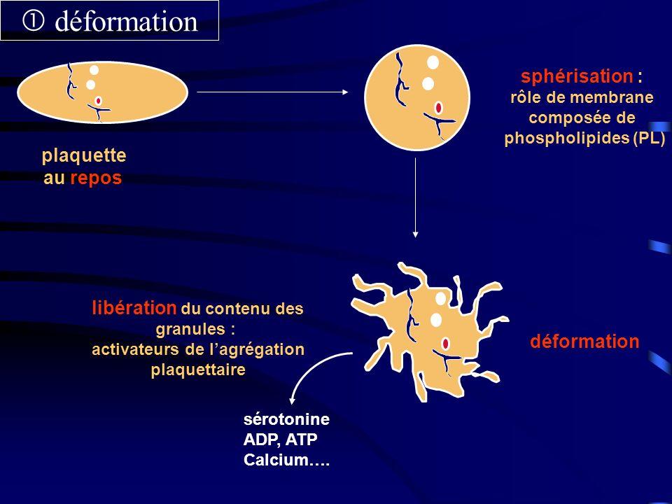 plaquette au repos déformation sphérisation : rôle de membrane composée de phospholipides (PL) sérotonine ADP, ATP Calcium…. libération du contenu des