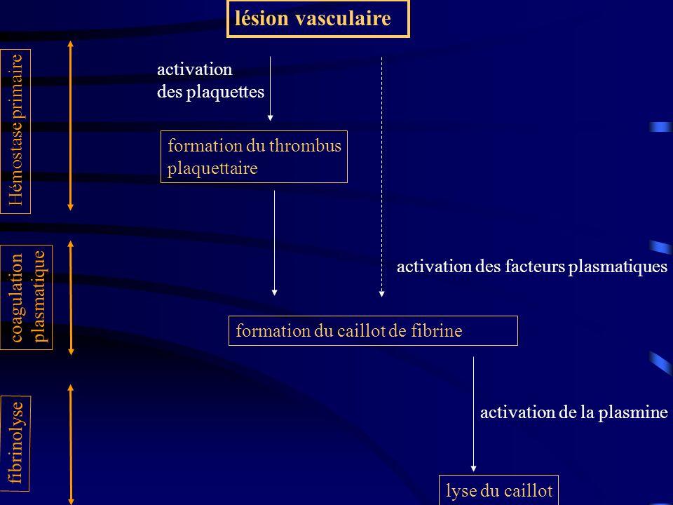 lésion vasculaire lyse du caillot activation de la plasmine fibrinolyse Hémostase primaire formation du thrombus plaquettaire activation des plaquette