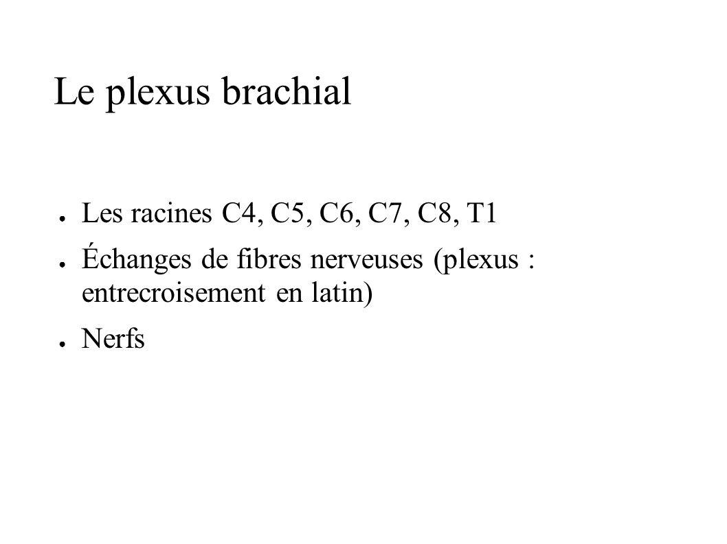 Le plexus brachial Les racines C4, C5, C6, C7, C8, T1 Échanges de fibres nerveuses (plexus : entrecroisement en latin) Nerfs