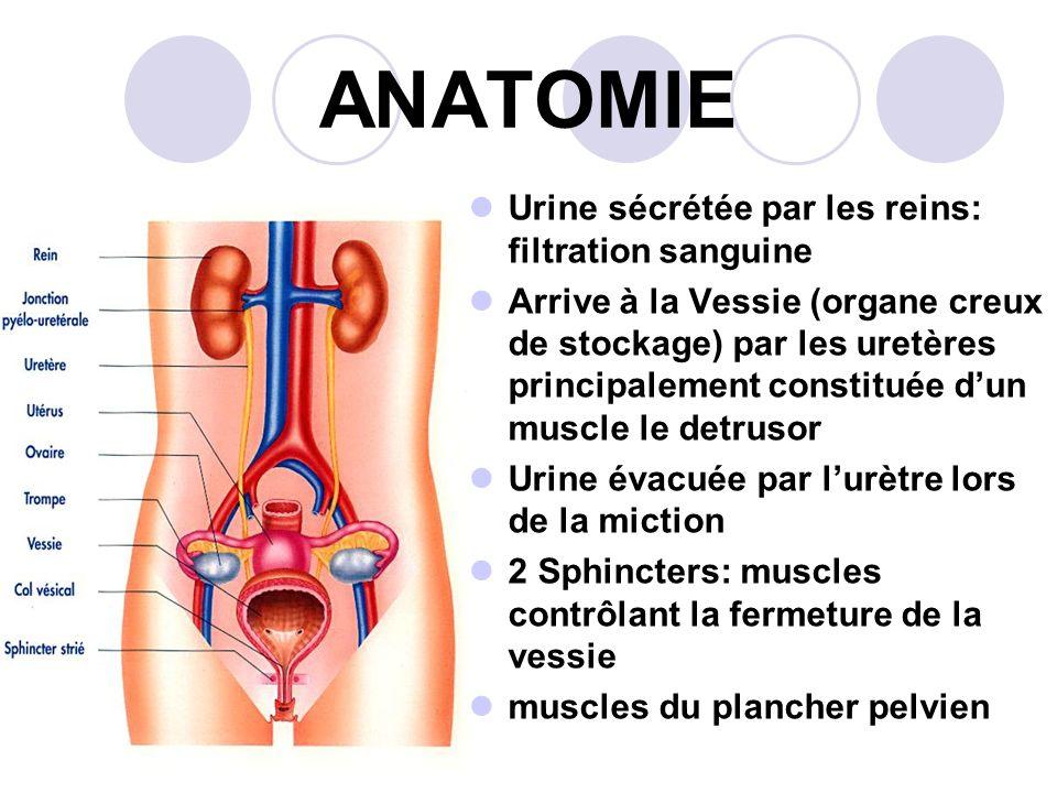ANATOMIE Urine sécrétée par les reins: filtration sanguine Arrive à la Vessie (organe creux de stockage) par les uretères principalement constituée dun muscle le detrusor Urine évacuée par lurètre lors de la miction 2 Sphincters: muscles contrôlant la fermeture de la vessie muscles du plancher pelvien