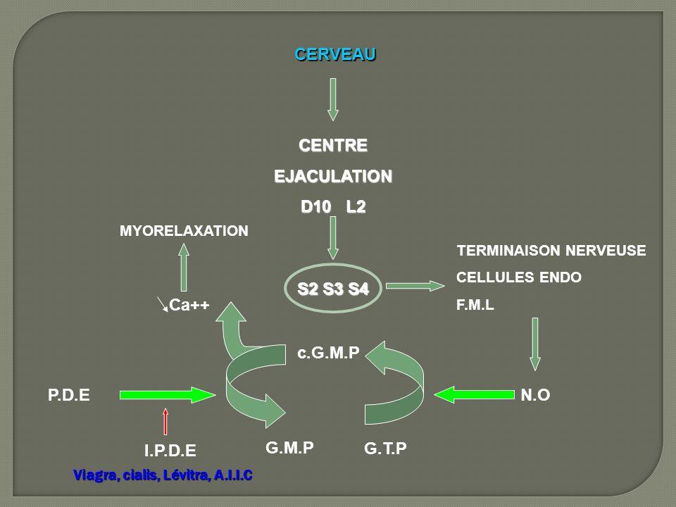 CERVEAU CENTREEJACULATION D10 L2 S2 S3 S4 TERMINAISON NERVEUSE CELLULES ENDO F.M.L N.O G.T.P c.G.M.P Ca++ MYORELAXATION G.M.P P.D.E I.P.D.E Viagra, ci