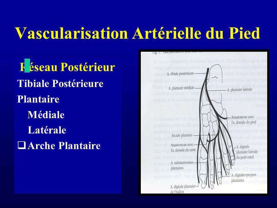 Vascularisation Artérielle du Pied Réseau Postérieur Tibiale Postérieure Plantaire Médiale Latérale Arche Plantaire