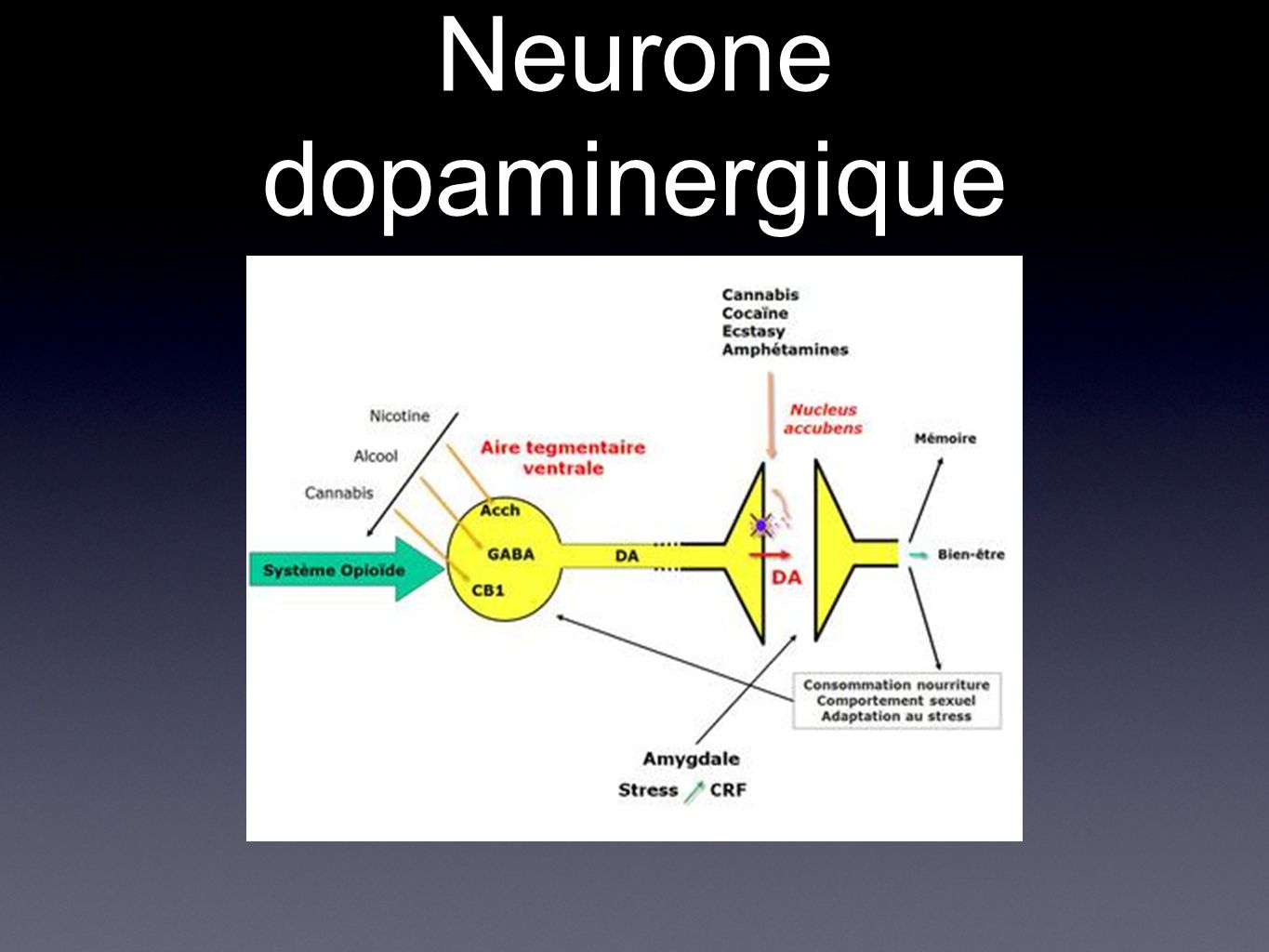 Neurone dopaminergique