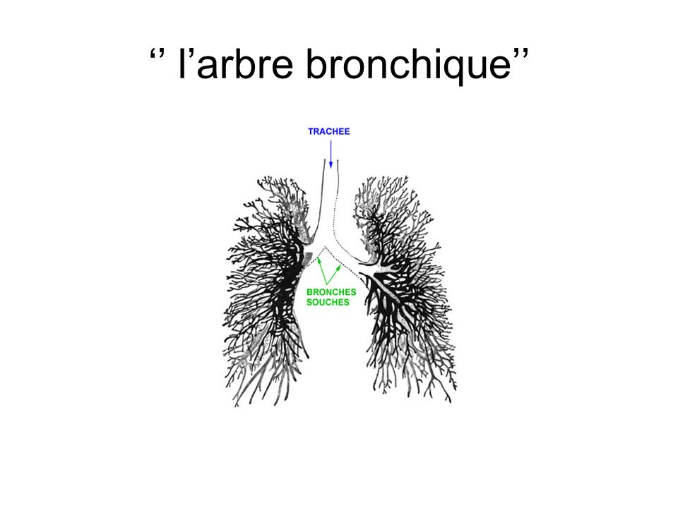 larbre bronchique