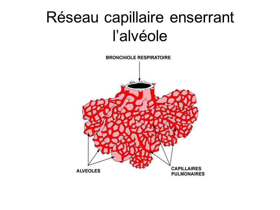 Réseau capillaire enserrant lalvéole