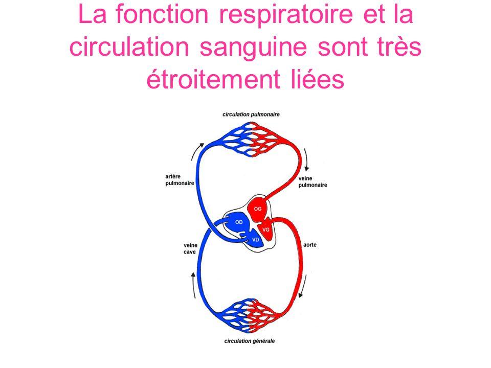 La fonction respiratoire et la circulation sanguine sont très étroitement liées