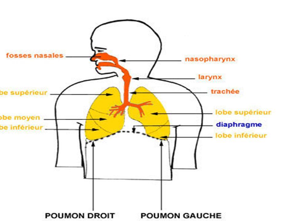 Les échanges Transfert des gaz Transfert de gaz de lalvéole au capillaire