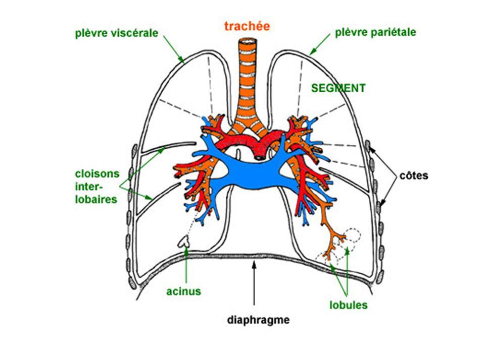 Les volumes respiratoires –le volume courant : volume mobilisé au cours dune respiration normale 300 à 600mL soit 10% de la capacité pulmonaire totale – le volume de réserve inspiratoire volume maxi qui peut être inspiré en plus de volume courant (50% de la capacité pulmonaire totale) – le volume de réserve expiratoire volume maximal qui peut être rejeté en plus du volume courant (15% de la capacité pulmonaire totale) –capacité vitale le plus grand volume mobilisable, cest la somme des 3 volumes précédents – Le volume résiduel en fin dexpiration profonde maximale une quantité dair persiste dans les poumons ce volume nest pas mobilisable (25% de la capacité totale des poumons) –la capacité pulmonaire totale cest la somme de tous les volumes – La capacité résiduelle fonctionnelle cest la somme du volume résiduel expiratoire et du volume de réserve elle correspond à la quantité dair qui reste dans les poumons à la fin de lexpiration normale (40% de la capacité totale pulmonaire)