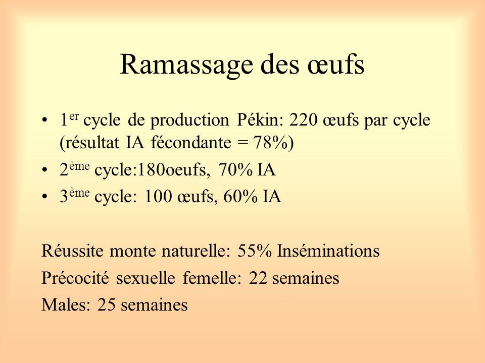 Ramassage des œufs 1 er cycle de production Pékin: 220 œufs par cycle (résultat IA fécondante = 78%) 2 ème cycle:180oeufs, 70% IA 3 ème cycle: 100 œuf