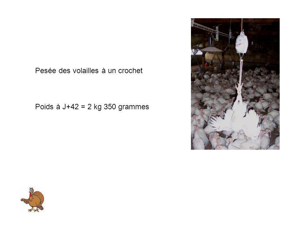 Pesée des volailles à un crochet Poids à J+42 = 2 kg 350 grammes