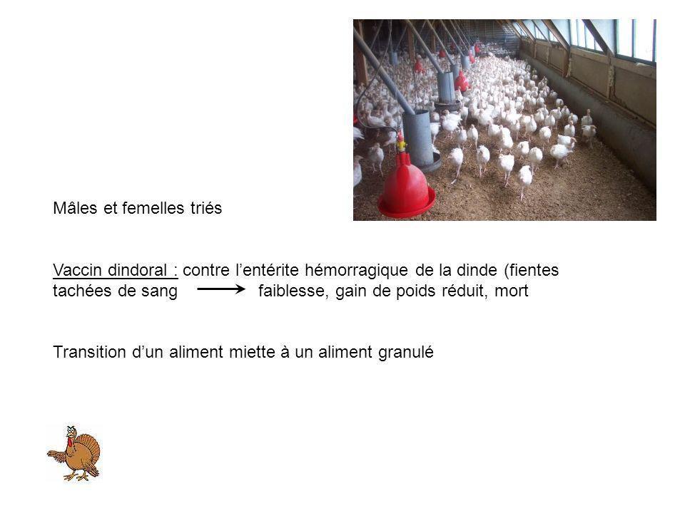 A partir de J+35, pesée hebdomadaire des animaux par cage de 6 individus Vérification de la courbe de croissance