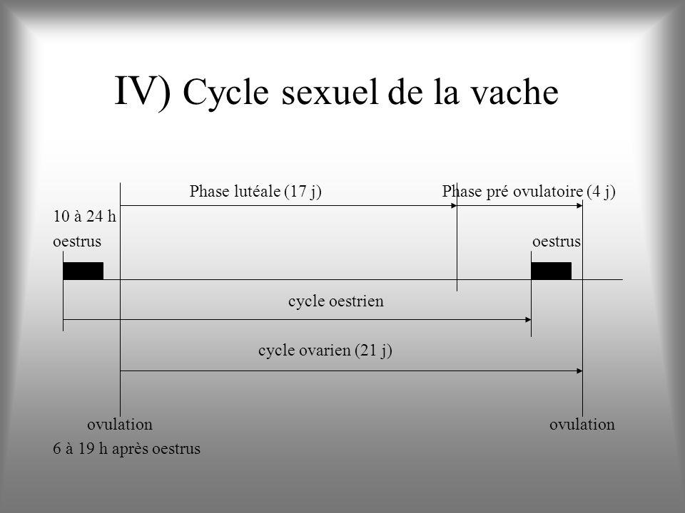 IV) Cycle sexuel de la vache Phase lutéale (17 j) Phase pré ovulatoire (4 j) 10 à 24 hoestrus cycle oestrien cycle ovarien (21 j) ovulation ovulation