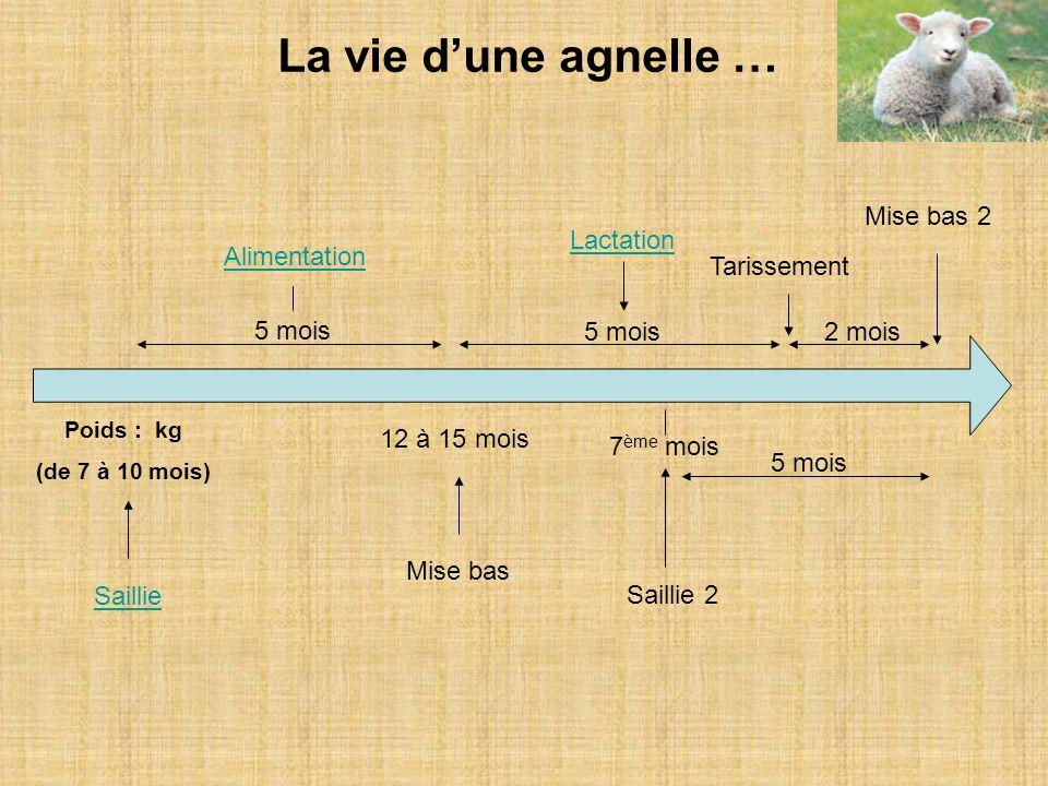 La vie dune agnelle … Poids : kg (de 7 à 10 mois) Saillie 5 mois 12 à 15 mois Mise bas Alimentation 5 mois2 mois Lactation Tarissement Saillie 2 7 ème