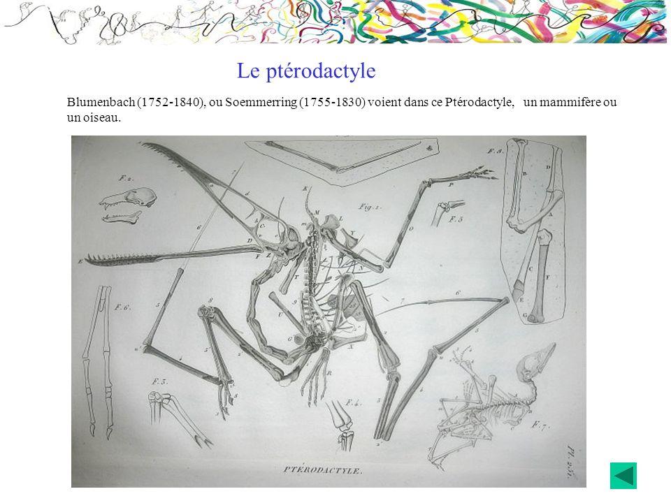 Blumenbach (1752-1840), ou Soemmerring (1755-1830) voient dans ce Ptérodactyle, un mammifère ou un oiseau. Le ptérodactyle