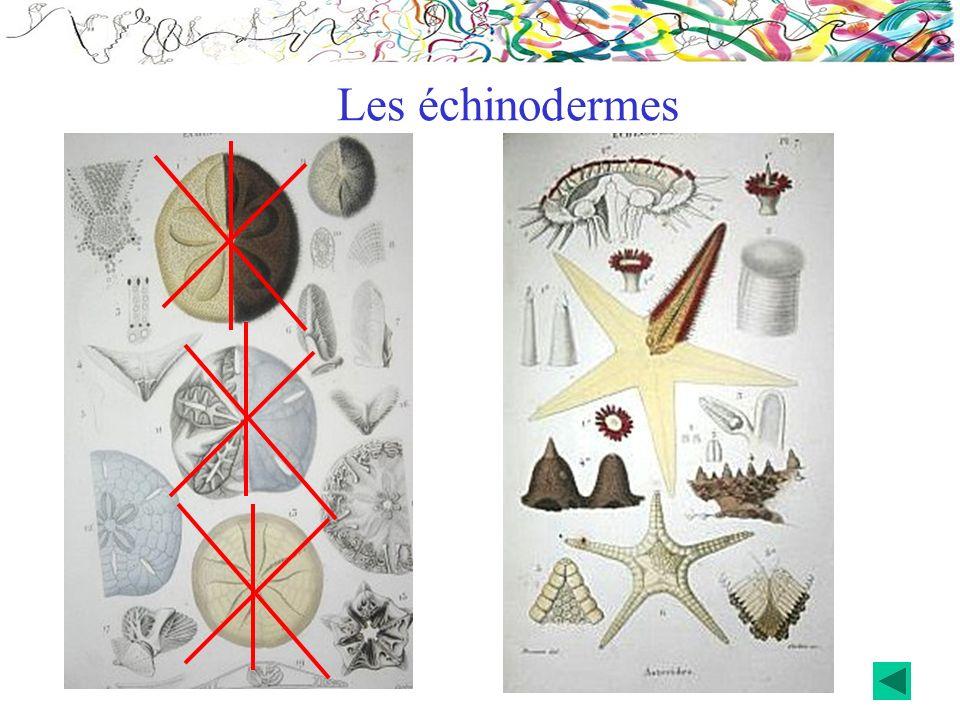 Les échinodermes