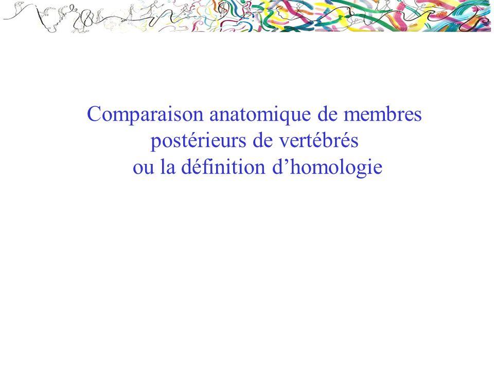 Comparaison anatomique de membres postérieurs de vertébrés ou la définition dhomologie