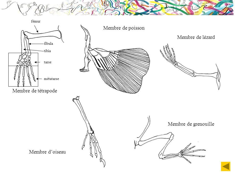 Membre de tétrapode Membre doiseau Membre de grenouille Membre de lézard Membre de poisson tarse métatarse tibia fibula fémur