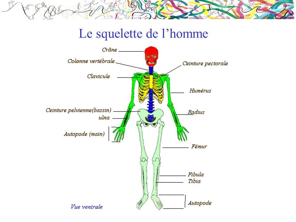 Le squelette de lhomme