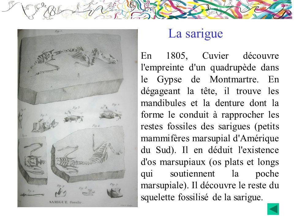 La sarigue En 1805, Cuvier découvre l'empreinte d'un quadrupède dans le Gypse de Montmartre. En dégageant la tête, il trouve les mandibules et la dent