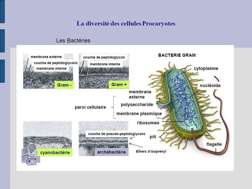 La diversité des cellules Procaryotes Les Bactéries