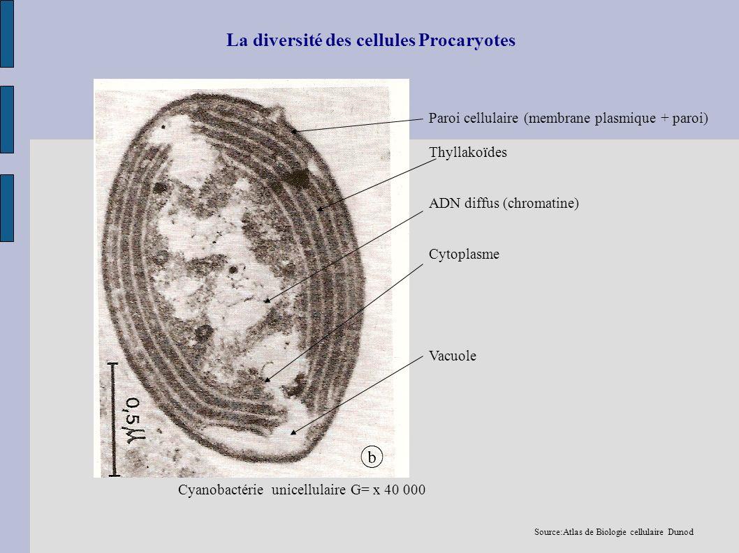 La diversité des cellules Procaryotes Paroi cellulaire (membrane plasmique + paroi) Thyllakoïdes ADN diffus (chromatine) Cytoplasme Vacuole Cyanobacté
