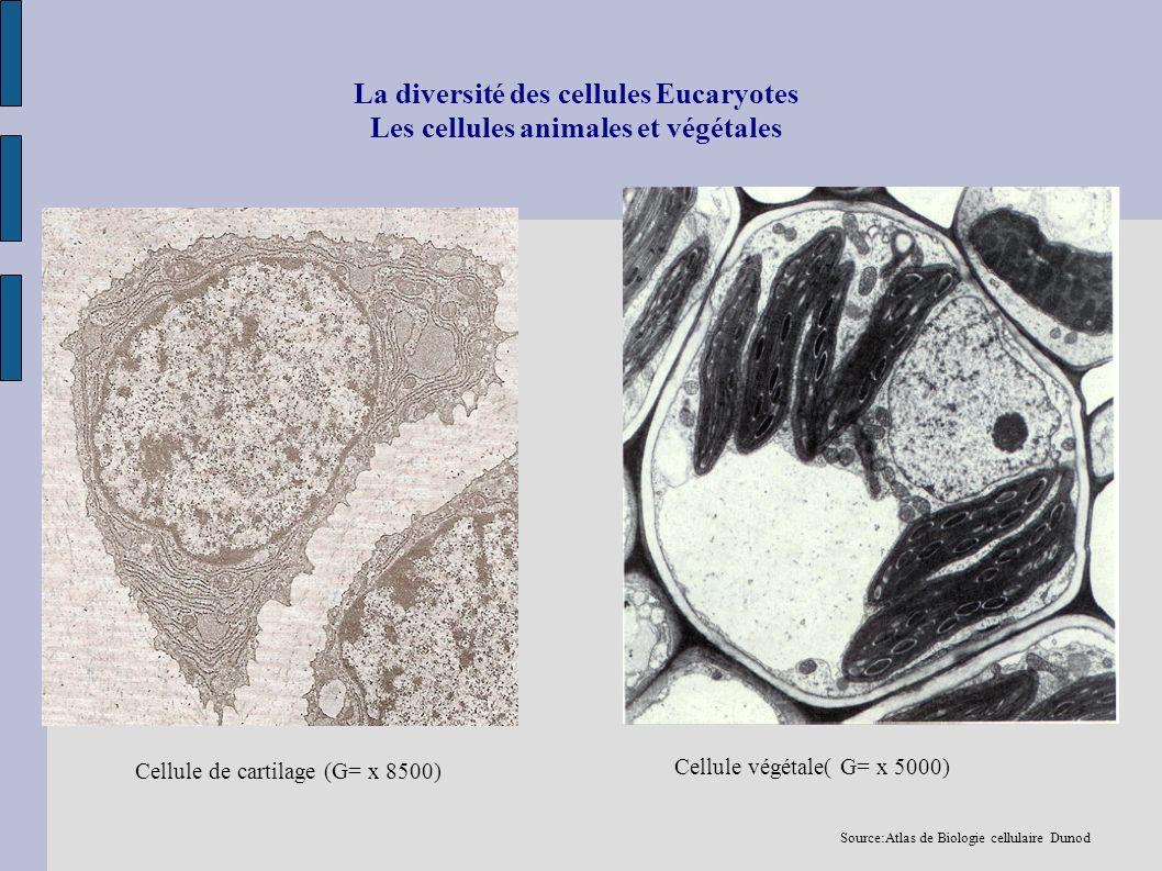 La diversité des cellules Eucaryotes Les cellules animales et végétales Cellule de cartilage (G= x 8500) Cellule végétale( G= x 5000) Source:Atlas de