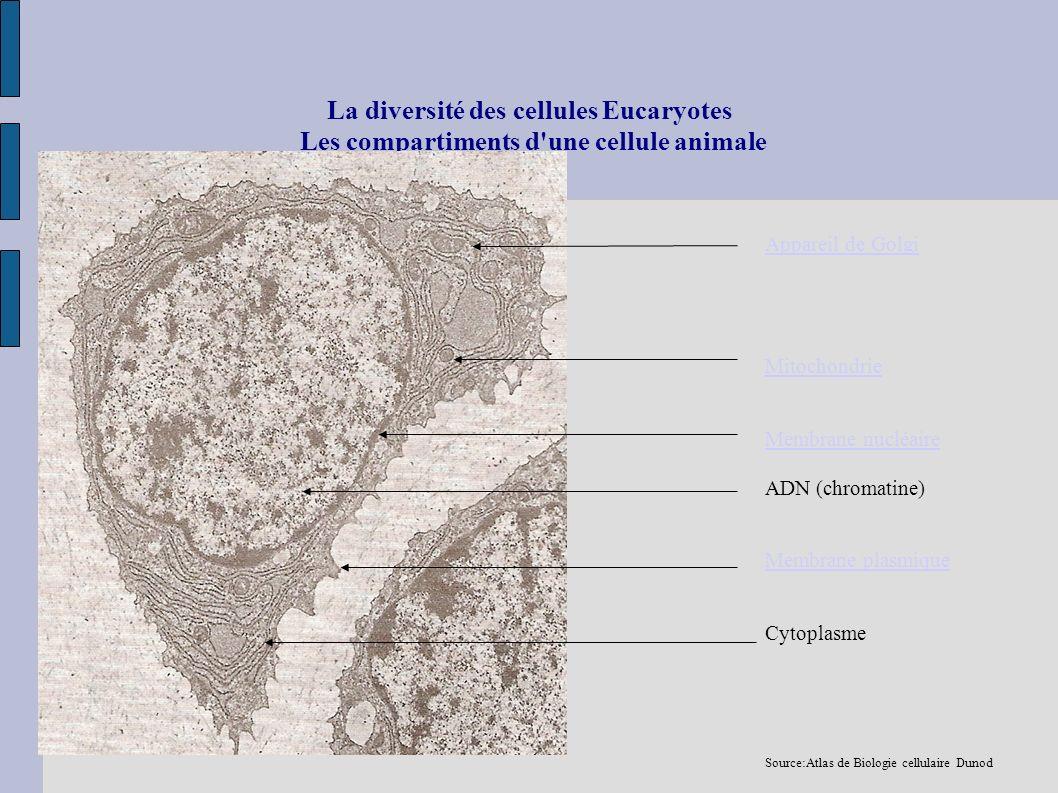 La diversité des cellules Eucaryotes Les compartiments d'une cellule animale Appareil de Golgi Mitochondrie Membrane nucléaire ADN (chromatine) Membra