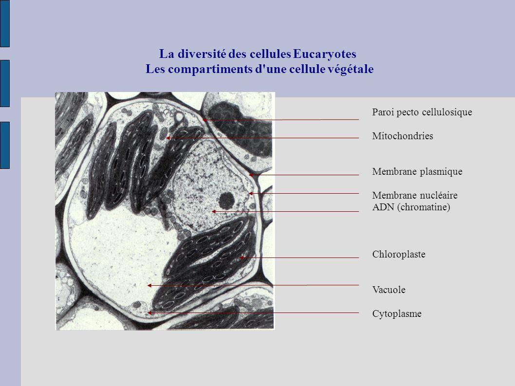 La diversité des cellules Eucaryotes Les compartiments d'une cellule végétale Paroi pecto cellulosique Mitochondries Membrane plasmique Membrane nuclé