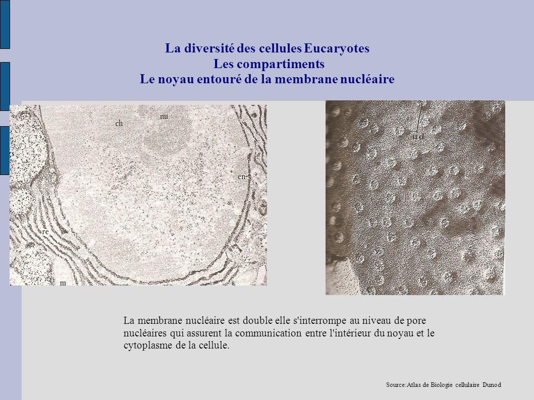 La diversité des cellules Eucaryotes Les compartiments Le noyau entouré de la membrane nucléaire La membrane nucléaire est double elle s'interrompe au