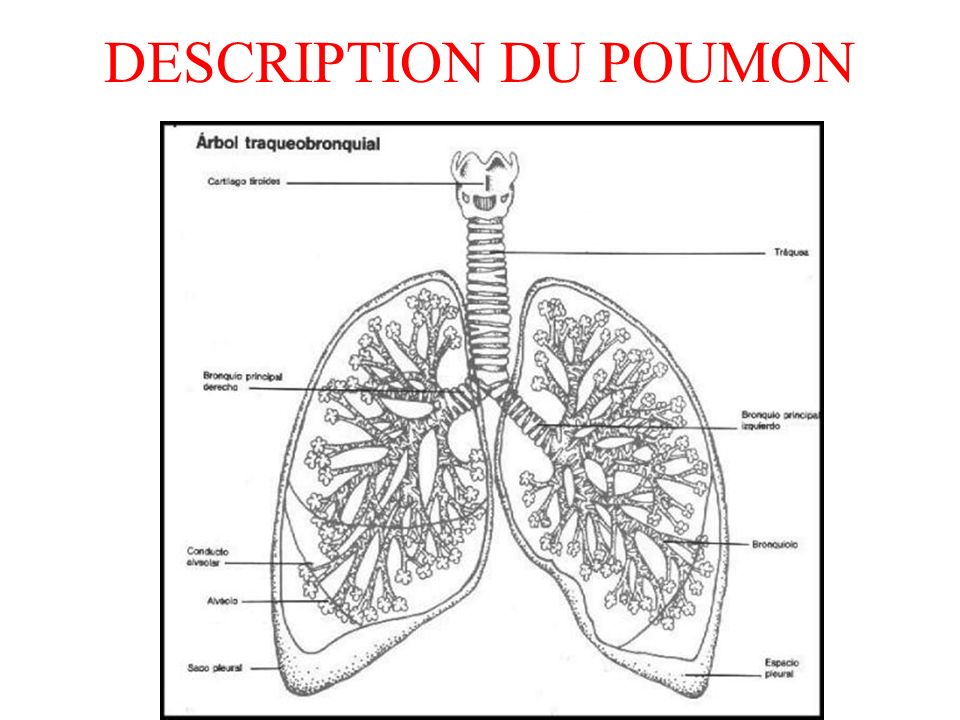 DESCRIPTION DU POUMON