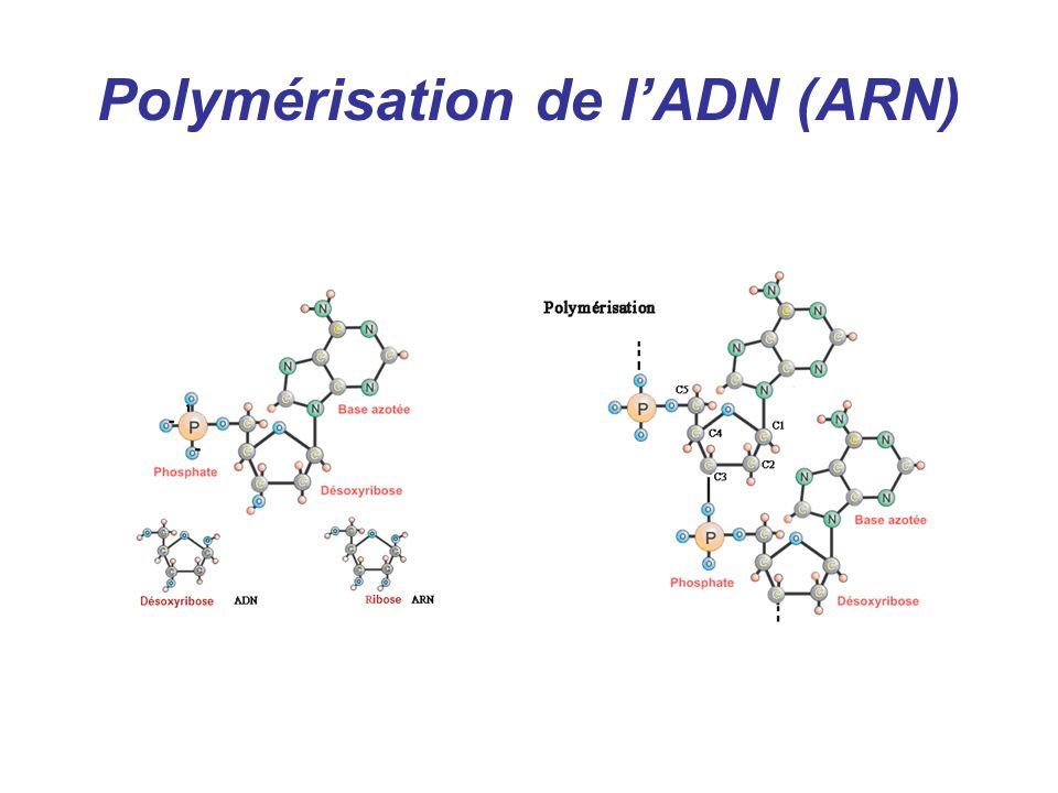 Polymérisation de lADN (ARN)