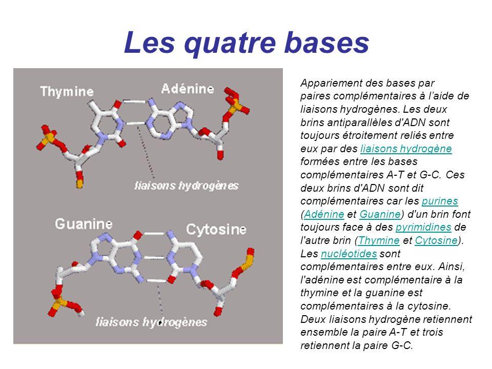 Les quatre bases Appariement des bases par paires complémentaires à laide de liaisons hydrogènes. Les deux brins antiparallèles d'ADN sont toujours ét