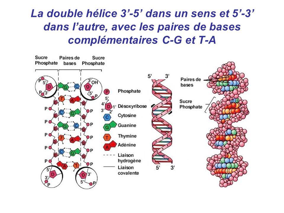 La double hélice 3-5 dans un sens et 5-3 dans lautre, avec les paires de bases complémentaires C-G et T-A