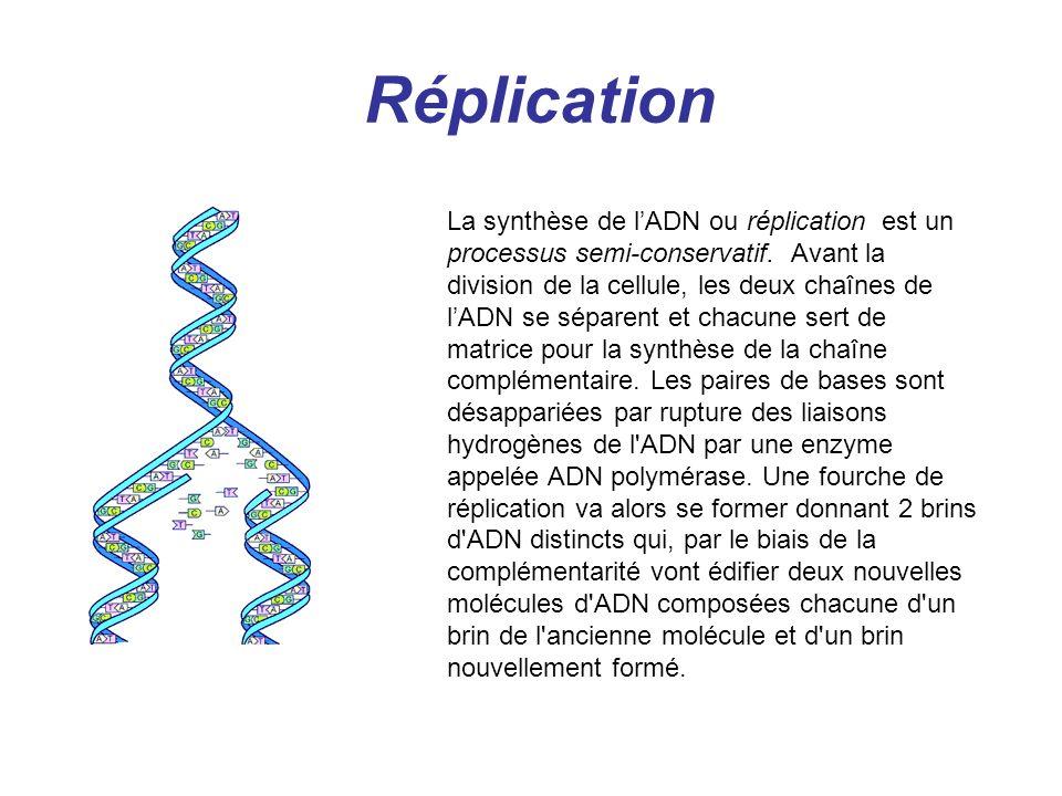 Réplication La synthèse de lADN ou réplication est un processus semi-conservatif. Avant la division de la cellule, les deux chaînes de lADN se séparen